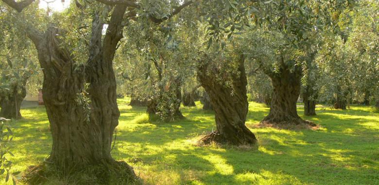 L'olivicoltura pugliese: tra calamità naturali e tecnologie innovative per il suo sviluppo