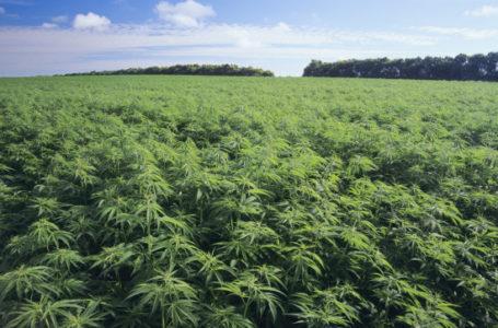 Agrinsieme: canapa, prioritario rilanciare coltura secolare