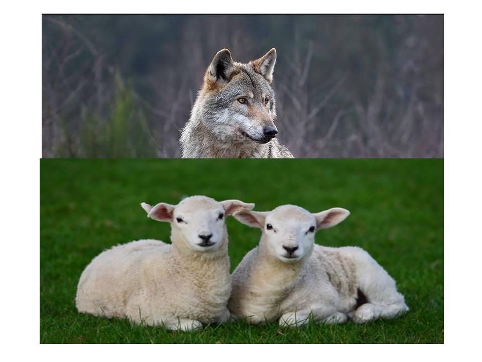 Non crepi il lupo, ma nemmeno l'agnello