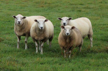 Domande di aiuto carni ovine