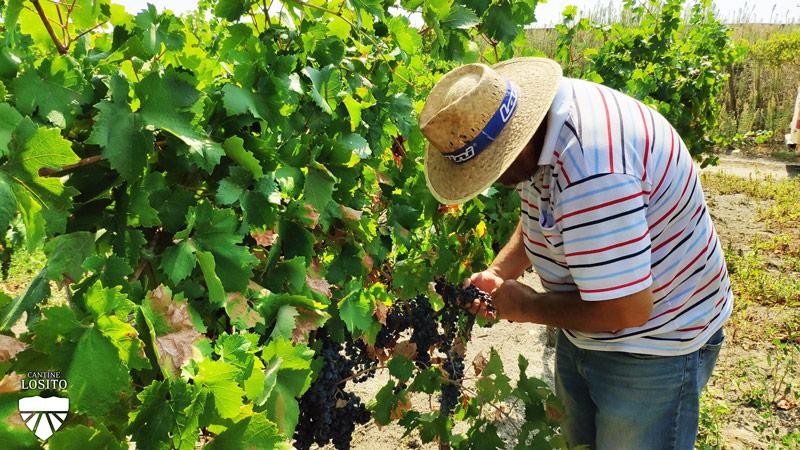 Vendemmia 2020, Confagricoltura Puglia: un'ottima annata ma i mercati sono ancora impauriti