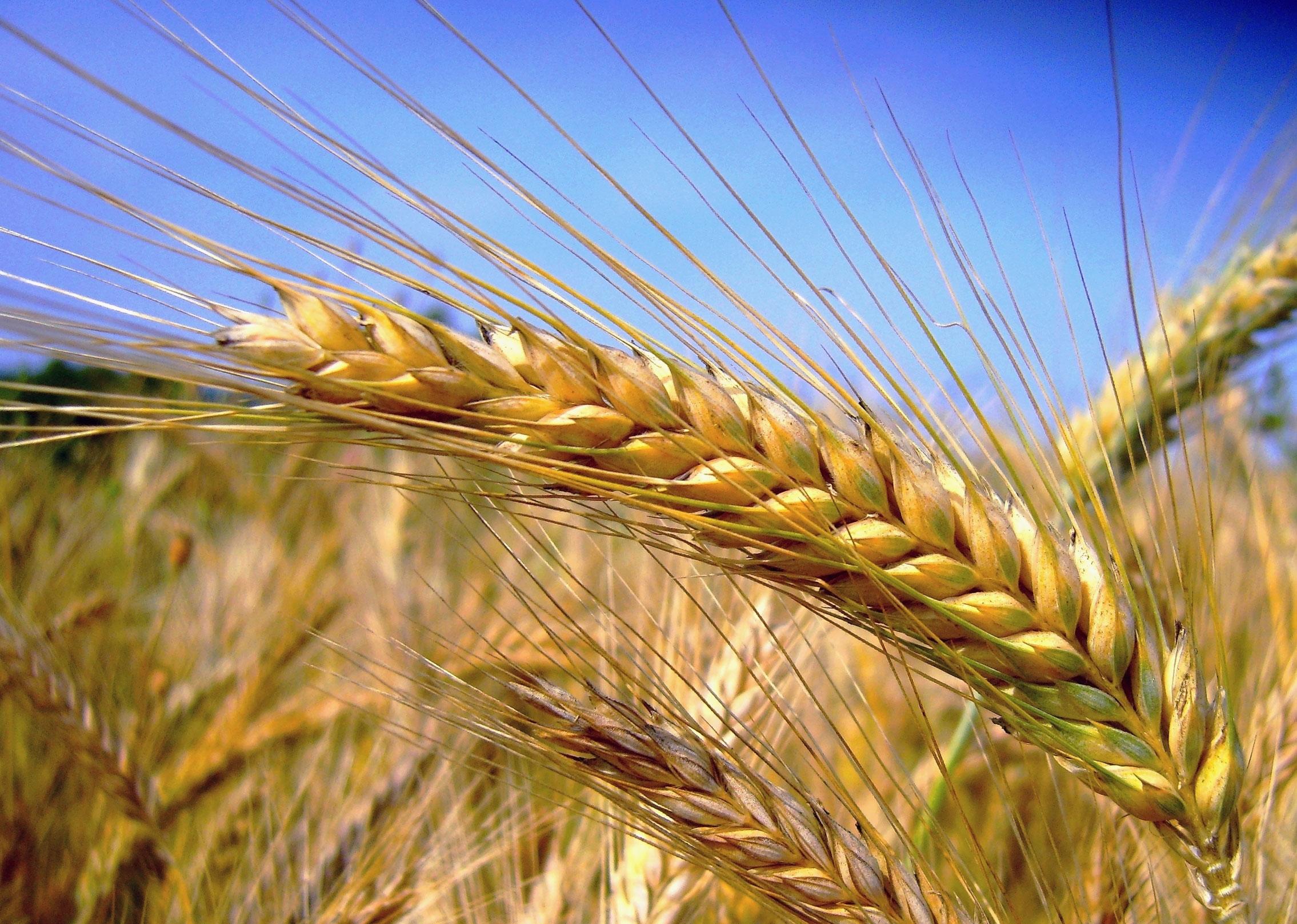 Schiavone: centrale l'economia del grano in Capitanata invariato il prezzo in commissione CCIAA