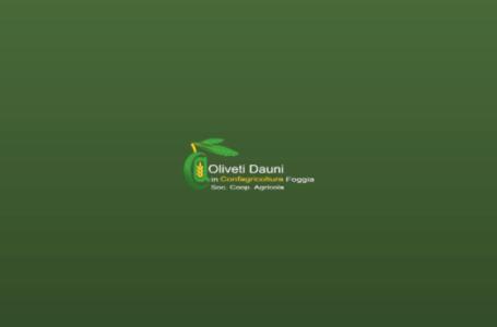 Oliveti Dauni – Potatura e Raccolta